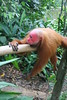 A red-faced Huacary monkey
