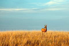 Fort Peck Buck (www.toddklassy.com) Tags: morning travel autumn wild usa brown sunlight white color male fall nature field horizontal composition standing landscape mammal outdoors one montana stag afternoon mt looking wildlife horizon tail hunting large meadow horns bluesky deer antlers venison trophy archery prairie copyspace buck attention majestic hue mothernature alert dramaticlighting tailed tallgrass whitetail deerhunting whitetaileddeer fortpeck greatplains goldenlight stateparks oneanimal maleanimal colorimage ruralscene beautyinnature huntingseason whitetailbuck westernunitedstates ruralmontana montanawildlife ruttingseason hoofedmammal deerinrut animalsport toddklassy montanaphotographer fortpeckmontana montanahunting