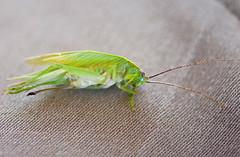 Female Katydid Near Death On Very Hot Day (aeschylus18917) Tags: macro nature japan insect nikon  grasshopper saitama katydid orthoptera tettigoniidae pxt ensifera saitamaken chichibu 105mm insecta  105mmf28 105mmf28gvrmicro saitamaprefecture tettigonioidea d700 nikkor105mmf28gvrmicro  tettigoniinae  ovipositer tettigoniidea chichibushi  danielruyle aeschylus18917 danruyle druyle   gampsocleis gampsocleidini