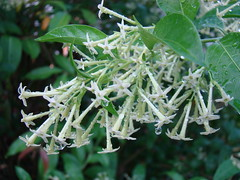 Jasmine: NIGHT-BLOOMING  #2 / (Bengali = Husnuhana) (3Point141) Tags: flower florida jasmine solanaceae nightblooming cestrum nightbloomingjasmine cestrumnocturnum husnuhana