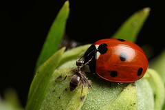 Ladybird aphid and ant story part 3 #2 (Lord V) Tags: macro bug insect ant ladybird aphid