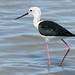 Pernilongo (Perna longa) - Himantopus himantopus - Black-winged Stilt