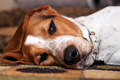 Feeling Better (Paguma / Darren) Tags: dog healthy hound floyd tamronspaf1750mmf28xrdiiildasphericalif