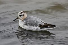 "Grey Phalarope (Phalaropus fulicarius) (""Clare"") Tags: bird nature wildlife norfolk greyphalarope canon40d titchwellrspb canon400prime carlsbirdclub"