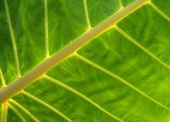 backlit Giant taro (yumievriwan) Tags: green leaf tropical png taro alocasiamacrorrhiza alotau giantt