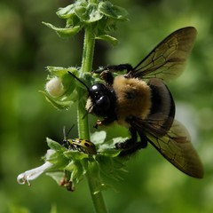 Bumblebee says to beetle: Hey guy... what are you doing in my Basil? (toryporter (back... never catching up!)) Tags: autumn sunlight white black macro green nature yellow fauna garden insect wings flora colorful bokeh maryland bee bumblebee 2010 naturesfinest coth supershot bej mywinners nikond90 natureselegantshots 105mmf28vrlens coth5 toryporter damnblog cothblog