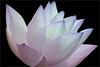 Blue Lotus Flower -IMGC0450-1 (Bahman Farzad) Tags: blue flower macro yoga peace lotus relaxing peaceful meditation therapy lotusflower lotuspetal lotuspetals lotusflowerpetals lotusflowerpetal