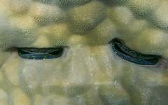 Irisierende Kamm-Muschel, NGID1747007048 (naturgucker.de) Tags: gypten naturguckerde cchristophbausch sharmelsheikhriffzwischenreefbeachunddreambeach ngid1747007048 irisierendekammmuschel pedumspondyloideum