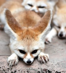 Fennec fox (floridapfe) Tags: animal zoo nikon nap sleep korea fox fennec everland 에버랜드 fennecfox