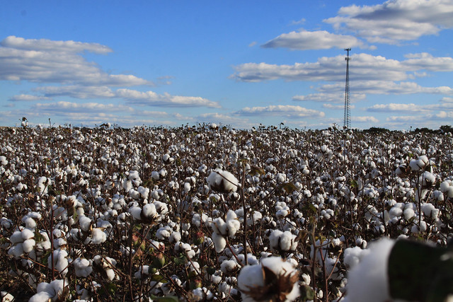 highway 64 cotton