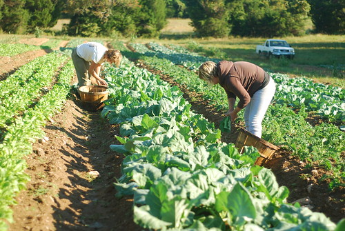 Picking collards