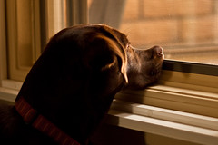 Wanna go outside (danfeeser) Tags: light dog window canon nose 50mm lab labrador natural chocolate phoebe fifty nifty 50d