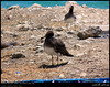 Sooty Gulls in Dhalkout, Dhofar (Shanfari.net) Tags: bird nature birds lumix raw natural gull gulls birding panasonic oman sooty fz larus zufar rw2 salalah laridae charadriiformes sultanate sarb dhofar عمان khareef طبيعة سلطنة خريف صلالة dufar صلاله ظفار الخريف محافظة موسم hemprichii dhufar ichthyaetus larushemprichii governorate dofar fz38 ichthyaetushemprichii fz35 dmcfz35 الصرب صرب صربية