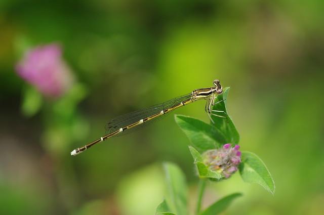 Platycnemis foliacea