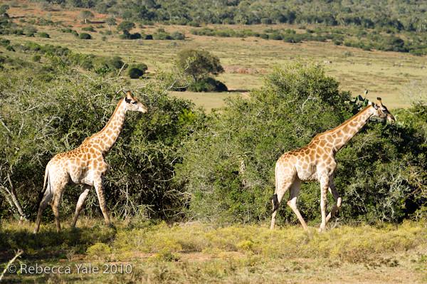 RYALE_Schotia_Safaris_17