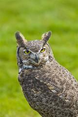 Who said whooo (littlebiddle) Tags: nature birds washington wildlife sony feathers aves dslr yakima a700