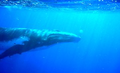 A magic moment (blichb) Tags: polynesia underwater southpacific whale humpbackwhale wal moorea unterwasser frenchpolynesia sdsee sdpazifik buckelwal polynesien franzsischpolynesien blichb