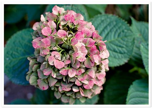Fall Pink Hydrangea