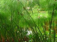 Papiros (aquileszambrano) Tags: anawesomeshot flickrunitedwinner flickrunitedaward