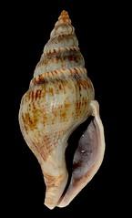 Eutria cornea