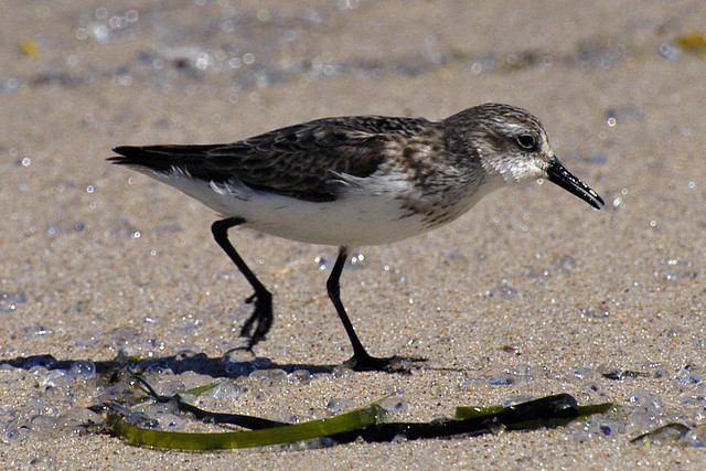 semipalmated sandpiper run