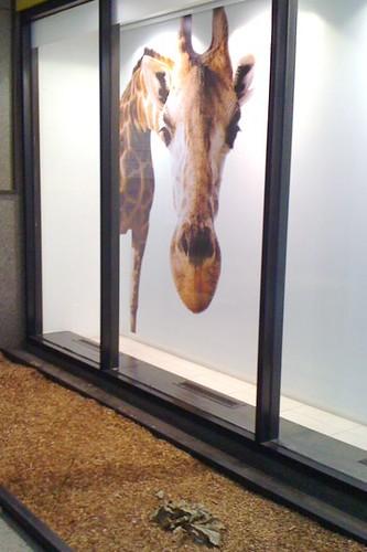 Hungry giraffe poster