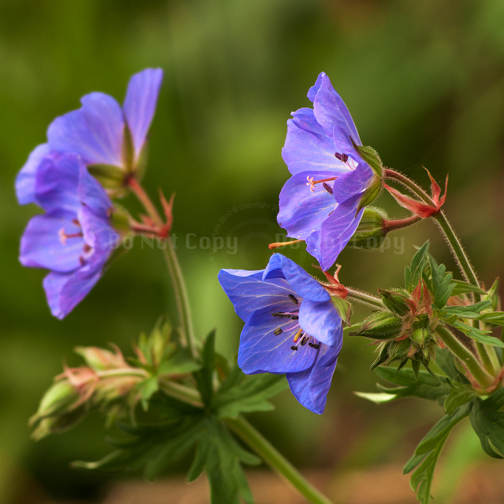 Meadow Cranesbill - 282/365