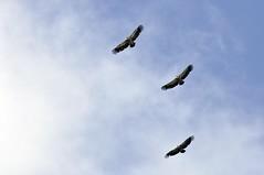 VERDON 2010 - 0002 (aups83) Tags: de sainte lac paca provence verdon croix balade d90 gr4 vautour gorgesduverdon pointsublime lacdesaintecroix parcnaturel rougon parcrégional parcnaturelregionalduverdon paludsurverdon voutourfauve