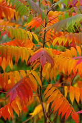 can there be too much colour? (john dusseault) Tags: park autumn trees red orange colour green fall leaves yellow flickr sumac ontarion canatara tgamphotodeskcolour