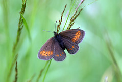 Erebia melampus (Andreas Sanchez) Tags: macro nature animal butterfly insect schweiz switzerland suisse lepidoptera papillon mariposa wallis valais schmetterling erebia lpidoptres melampus