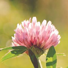 autumn clover (Shandi-lee) Tags: pink autumn sun sunlight plant flower macro green fall sunshine clover macroflowerlovers