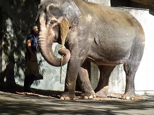 Sweeping Elephant