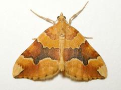Barred Yellow, Bawdeswell (Norfolk), 24-Jun-10 (Dave Appleton) Tags: yellow insect moth barred bawdeswell barredyellow