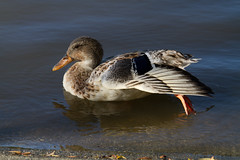 not all birds are the same (Eyesplash - Summer was a blast, for 6 million view) Tags: bird birds geese duck different feathers ducks goose variety mottled slbstretching pleaserespectanyuseagewithpermissionsonly femaleamericanwidgeon