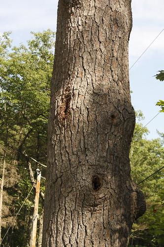 Honey Bee Tree  17