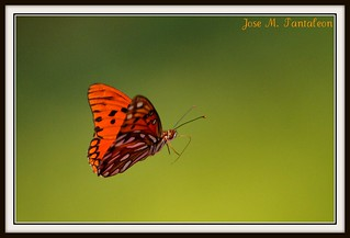 1-La mariposa de la paz en el dia de la Hispanidad!! Esta mariposa vuela sobre un verde esperanzador de unir a dos amigos que se pelearon un dia como hoy!! La mitad de esta foto es para mi amiga Karen Blix y la otra Mitad para mi gran amigo Guillermo!!