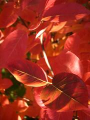 Autumn red (DameBoudicca) Tags: autumn shadow red sun lund tree fall leaves automne leaf bush sweden schweden herbst otoo sverige autunno hst suecia sude svezia