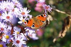 In the sunshine (~~Nelly~~) Tags: herfst zon bloemen vlinder vrijbroekpark mygearandmepremium
