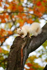 'Albino Squirrel' - A Resident of 'Tappan Square' in Oberlin, Ohio! (p.csizmadia) Tags: morning autumn trees ohio red orange white color green fall nature beauty leaves yellow woods october squirrel spectrum vibrant seasonal sunny albino oh autumnal brilliance oberlin 2010 loraincounty oberlincollege tappansquare csizmadia pcsizmadia afhht