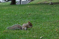 Squirrel with Chestnut