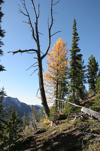 Lone Larch along the trail