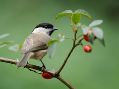 Marsh Tit (Parus palustris) (m. geven) Tags: bird nature animal fauna feathers natuur veer common dier oiseau mees avian vogel oiseaux avifauna gelderland algemeen veren marshtit paruspalustris jaarvogel pluim zangvogel paridae msangenonnette forestbird sumpfmeise broedvogel standvogel holenbroeder glanskop gemeentemontferland glanskopmees talrijk bosvogel nederlandthenetherlandsniederlande