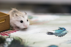 """This is not home?!"" (22 days) (jade_c) Tags: pet animal mammal rodent singapore hamster rement roborovski  dwarfhamster  roborovskihamster gelaskin camilladerrico phodopusroborovskii 22dayoldbabyhamster"