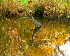 Heron in Reflection (Stanley Zimny (Thank You for 16 Million views)) Tags: park blue autumn trees reflection tree bird fall heron nature colors leaves automne catchycolors leaf colorful colours seasons natural fallcolors herbst autumncolors fourseasons autunno autumnal colorexplosion 4seasons sgis jesien jesiennie