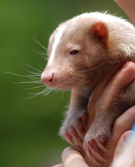 Skunk (floridapfe) Tags: cute animal zoo nikon korea skunk everland 에버랜드 d80