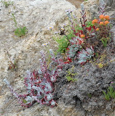 Dudleya farinosa and Castilleja latifolia (htdh3o) Tags: flowers wild plants plant flower nature succulent dudleya