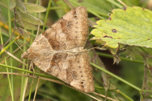 another brown geometer moth (2)