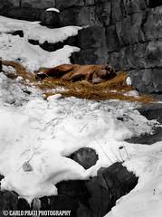 Sleeping Bear (Carlo Prati Photography) Tags: bear sleeping brown snow zoo aquarium pittsburgh carlo ppg prati carlopratiphotography pratidesigns