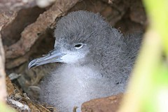 Wedge-tailed Shearwater chick, Kīlauea Point National Wildlife Refuge, Kauai, Hawaii (Photo Bug TA) Tags: world pictures ocean travel usa slr bird nature birds animals digital canon bug point island photography eos hawaii islands living flying photo state pacific image wildlife air south united flight feathers places chick adventure exotic national shore kauai faves states shearwater favourite mammals ta avian breathing nesting refuge faraway kīlauea 50d globetrotting wedgetailed
