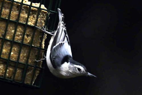 november nuthatch II